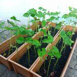 นำถ่านซังข้าวโพดมาใช้เพาะปลูก ปรากฏว่าพืชเจริญเติบโตได้ดีเพราะอุดมไปด้วยแบคทีเรียที่มีประโยชน์ต่อพืช