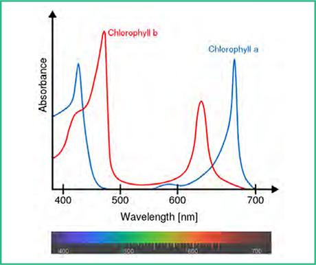 รูปที่ 1 แสดงสเปกตรัมการดูดกลืนแสงของคลอโรฟิล-A และ คลอโรฟิล-B